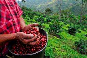Nespresso-fenntarthatóság-kávéültetvény