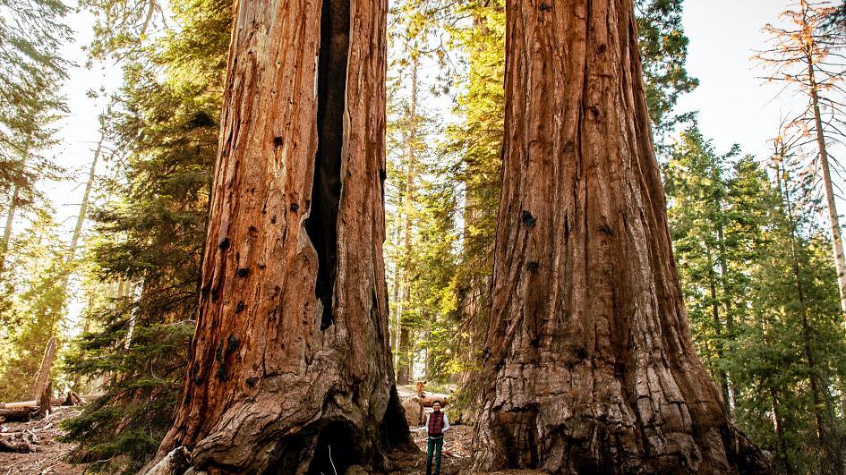 Égbe nyúló hatalmas, nagy fák